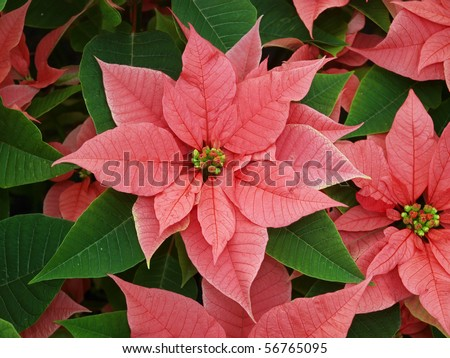 Poinsettia (Euphorbia pulcherrima ) make a display of red and green
