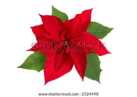Poinsettia Flower - stock photo