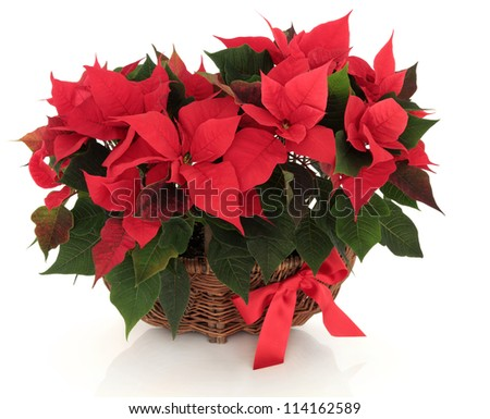 Poinsettia flower arrangement in a wicker basket with red bow over white background.