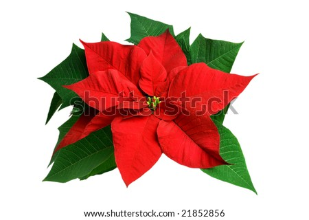 Poinsettia flower closeup on white background - stock photo