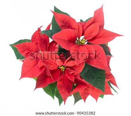 Poinsettia flower closeup on white background.
