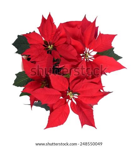poinsettia flower on white background - stock photo