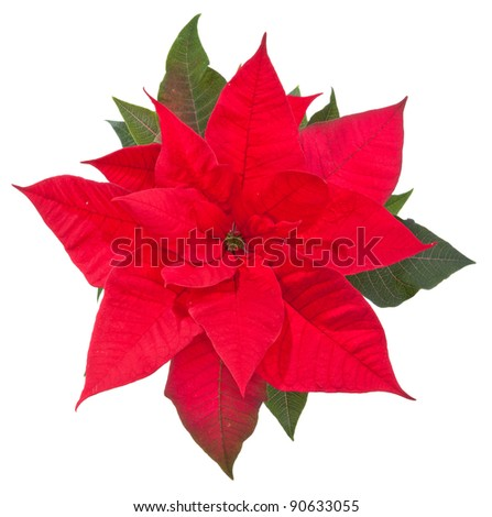 poinsettia flower on white background, top view - stock photo