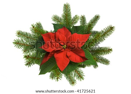 Poinsettia flower with spruce branches on white - stock photo