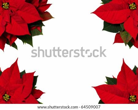Poinsettia flowers - stock photo