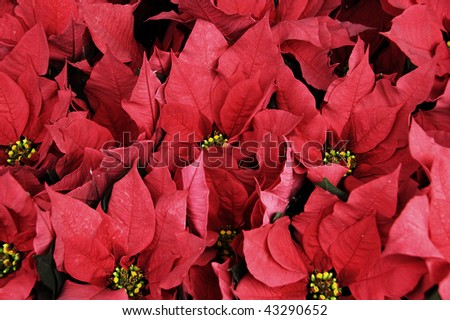 poinsettia flowers, plants typical of Christmas