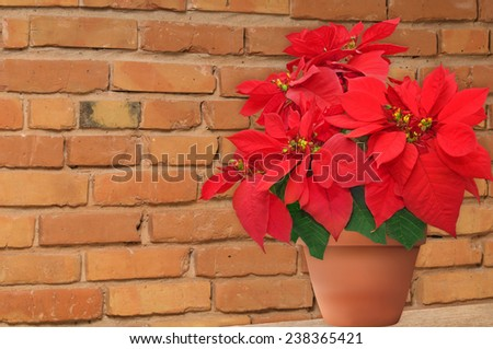 poinsettia in flowerpot. beautiful Christmas flower on the brick wall background - stock photo