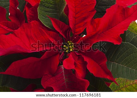 Poinsettia is a traditional Christmas Flower. It is known as Bethlehem Star in some countries. - stock photo