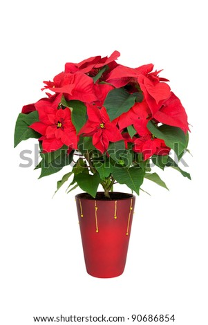 Poinsettia isolated on white.