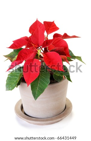 Poinsettia isolated on white background - stock photo