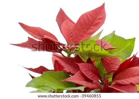 Poinsettia isolated on white. With depth of field. - stock photo