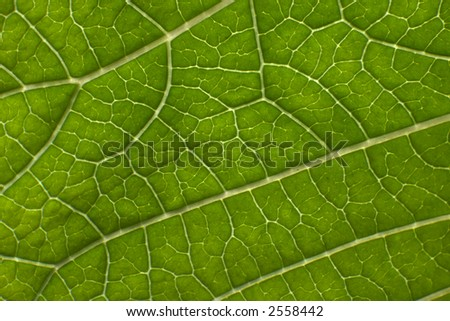 poinsettia leaf - stock photo