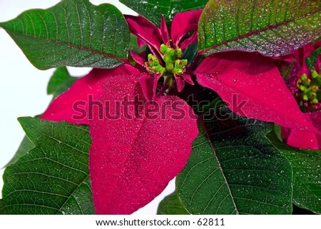 Poinsettia (Macro) - stock photo