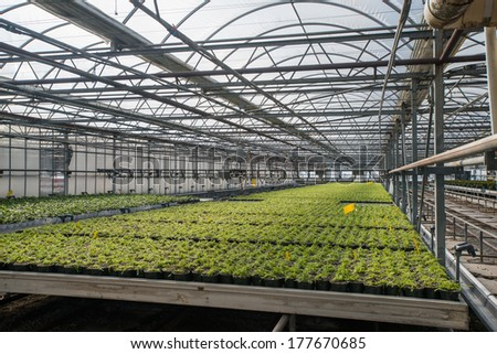Poinsettia nursery grows thousands of poinsettia plants each year supplying the country with the beautiful flower in time for the winter holidays. Shipping all over the world from North Carolina. - stock photo