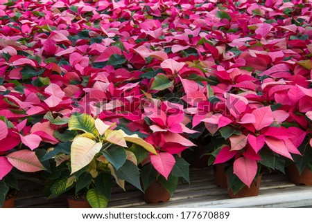Poinsettia nursery grows thousands of poinsettia plants each year supplying the country with the beautiful flower in time for the winter holidays. - stock photo