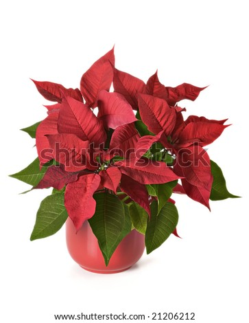 Poinsettia on white background in red pot