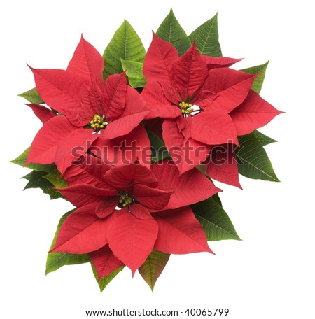 Poinsettia plant isolated on white close up - stock photo
