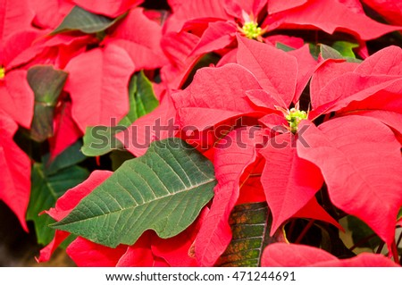 Poinsettia; Popular potted plant at Christmas time; Christmas flower; Traditional Christmas flowering plant