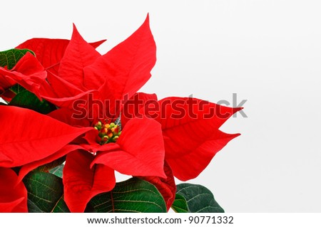 Poinsettia, red Christmas flower on white background.