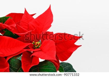 Poinsettia, red Christmas flower on white background. - stock photo