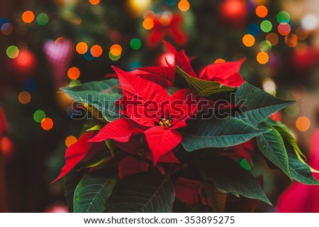 Poinsettia red christmas plant christmas lights as background  - stock photo