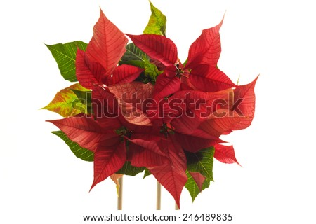 poinsettia with lightly colored foliage
