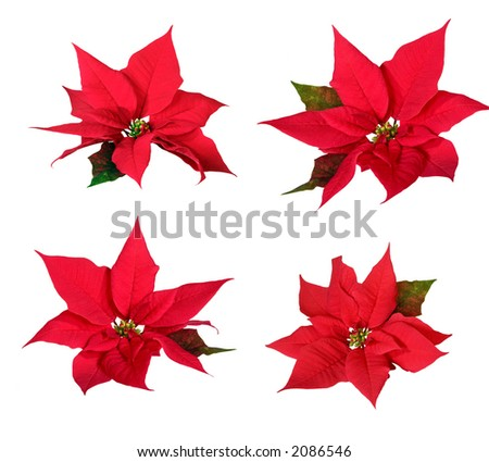 Poinsettias - stock photo