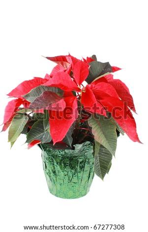Poinsettias - stock photo