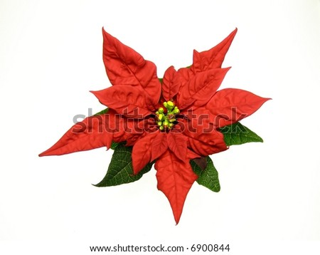 poinsettias Christmas flower against white background