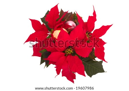 Poinsettias (Euphorbia pulcherrima) Christmas flower with two balls isolated on white background