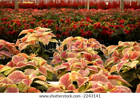 Poinsettias in a large greenhouse. - stock photo