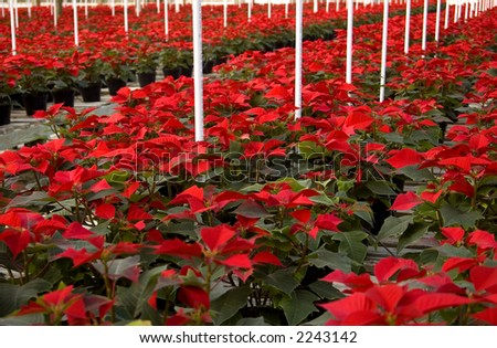 Poinsettias in long rows in a greenhouse - stock photo