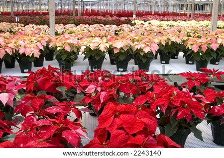 Poinsettias lined up in a greenhouse. - stock photo
