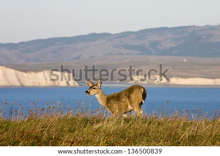 Point Reyes National Seashore wildlife. Mule deer grazing grass on the edge of the cliff. - stock photo