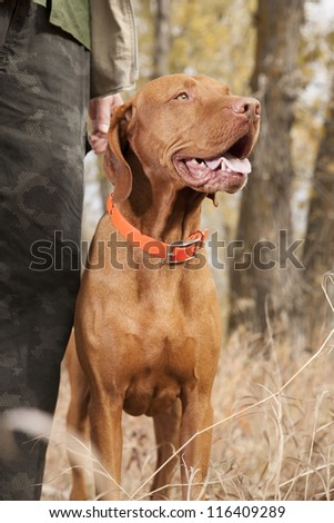 pointer hunting dog stays at heel in forest - stock photo