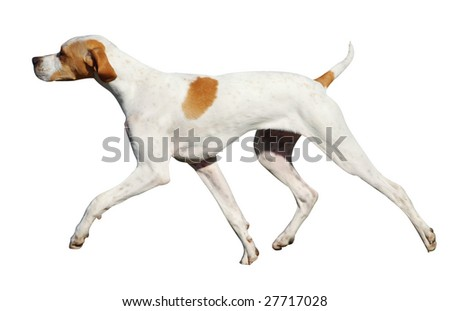 Pointer Dog Stock Images, Royalty-Free Images & Vectors | Shutterstock
