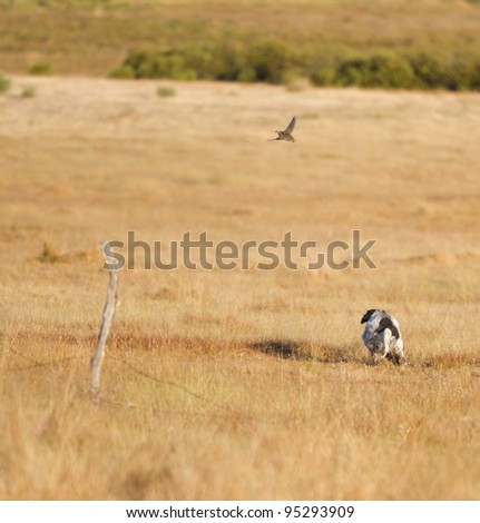 Pointer pedigree dog hunting quail - stock photo