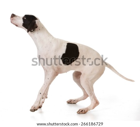 pointer puppy jumping up on white background - stock photo