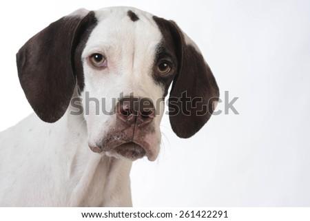 pointer puppy portrait on white background - stock photo