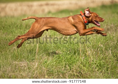 pointing dog jumping outdoors - stock photo