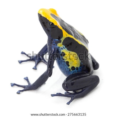 poison arrow frog, dendrobates tinctorius from the tropical Amazon rain forest in Guyana, Brazil and Suriname - stock photo