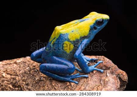 Poison arrow frog from the tropical Amazon rain forest, Dendrobates tinctorius. Jungle amphibian - stock photo