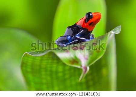 poison arrow frog of Amazon rain forest Peru tropical exotic amphibian of rainforest small and cute animal with bright red warning colors - stock photo