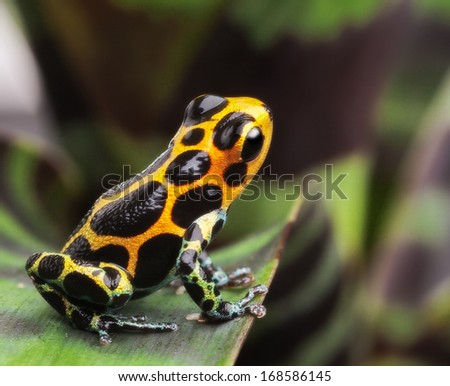poison arrow frog on leaf in Amazon rain forest. Poison dart frog Ranitomeya imitator from Jungle in Peru. Tropical exotic pet animal. Cute amphibian kept as a tropical and exotic pet in a terrarium. - stock photo