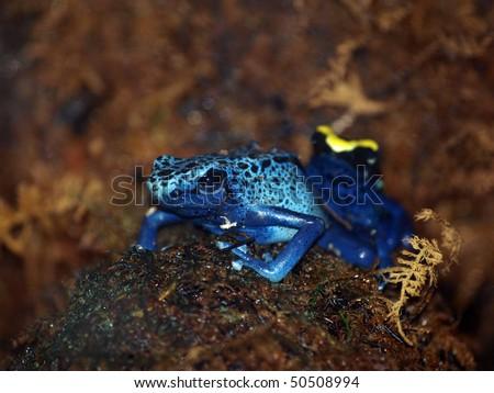 Poison Dart Frog - stock photo