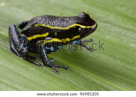 poison dart frog black with yellow lines and blue belly Hyloxalus azureiventris poisonous animal of amazon rainforest Peru - stock photo