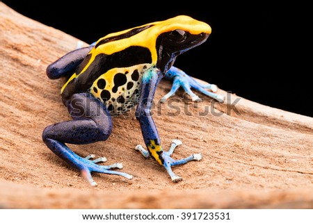 poison dart frog, Dendrobates tinctorius a poisonous animal from the Amazon rain forest in Brazil.
