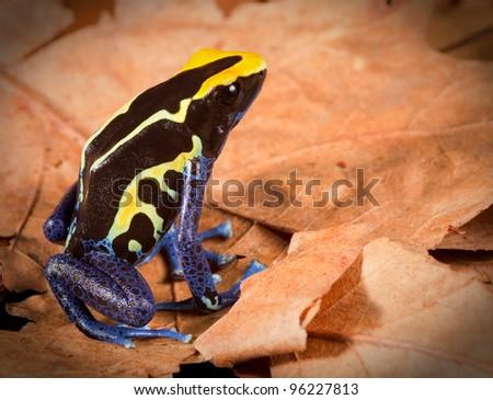 poison dart frog dendrobates tinctorius tropical amphibian of amazon rainforest - stock photo