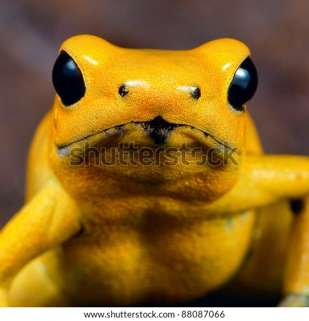 Poison dart frog portrait of phyllobates terribilis of the amazon rainforest in Colombia, very toxic and poisonous animal,big black amphibian eyes and bright yellow color - stock photo
