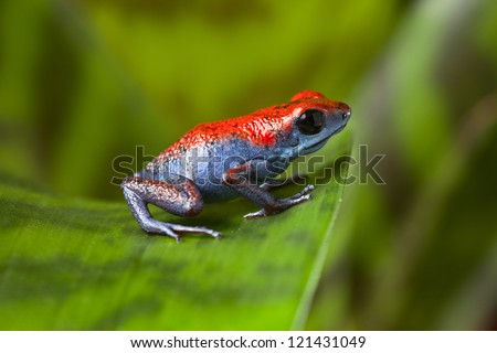 poison dart frog red and blue amphibian of Isla Escudo in Panama oophaga pumilio small poisonous animal sitting on leaf in tropical rainforest